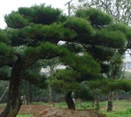 庭院公园观赏行道树造型黑松出售 热销广西贵州地区 欢迎咨询