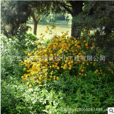 棣棠苗绿化花木行道点缀庭院观赏色块绿篱四季常青量大从优棣棠苗