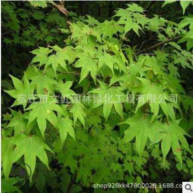 基地批发青枫树苗园林绿化苗木鸡爪槭色块绿篱行道点缀青枫