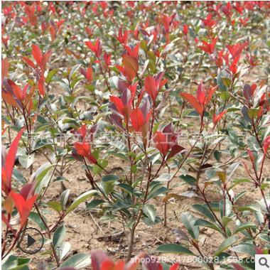 红叶石楠苗批发绿化苗木存活率高规格齐全红叶石楠小苗红叶石楠树