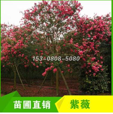 四川成都红花紫薇13cm 14cm 15cm