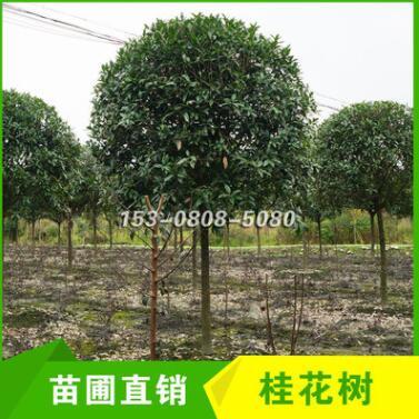 成都温江分支独干精品桂花树8cm 9cm