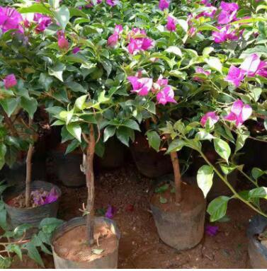 云南多色系三角梅盆景批发 庭院攀援花卉绿植盆栽