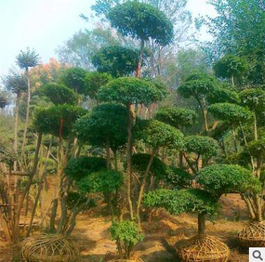 大量批发高档园林绿化苗木 小叶女贞造型树