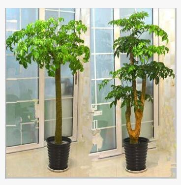 幸福树平安树室内客厅大型植物绿宝盆景幸福树平安树吸甲醛防雾霾