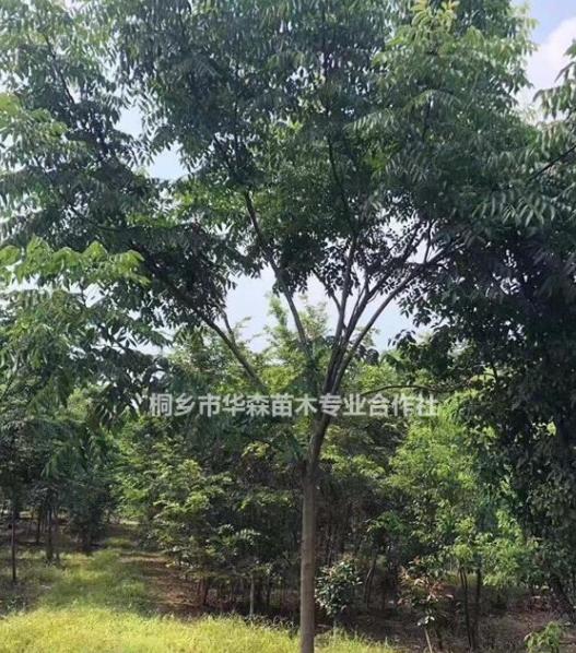 浙江桐乡市供应三杉-黄山栾树-产地直销-大量