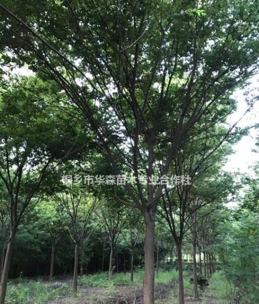 浙江桐乡市供应三杉-榉树-产地直销-便宜-交通便利