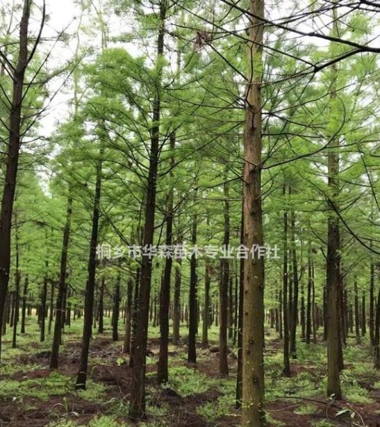 浙江桐乡市供应三杉-水杉-产地直销-大量