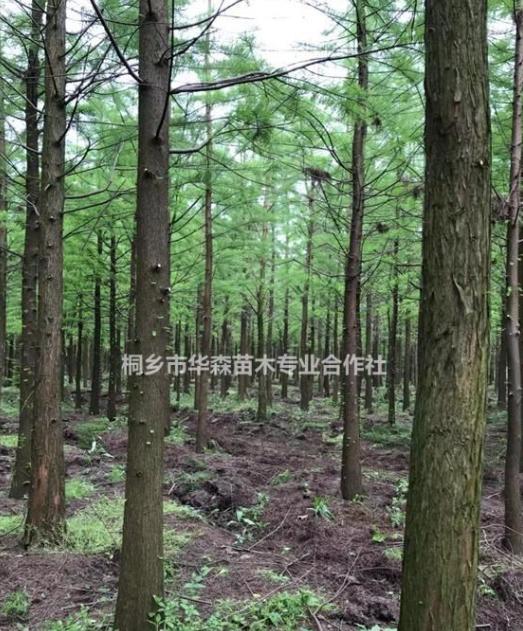 浙江桐乡市供应三杉-池杉-产地直销-大量