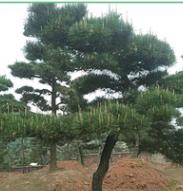 亮毅苗圃批发造型日本黑松 批发常绿乔木 城市园林绿色苗木黑松