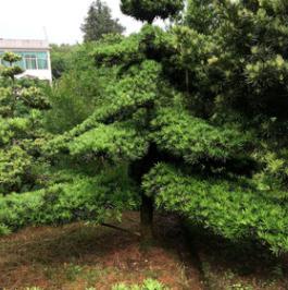 供应优质乔木造型罗汉松 苗圃直供 罗汉松价格 品种齐全