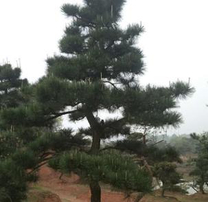 绿化苗木园林景观造型树黑松 树形优美造型黑松 欢迎选购