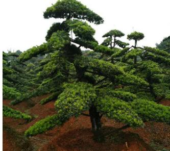 乔木罗汉松批发 湖南苗木基地常绿乔木供应 批发造型罗汉松树苗