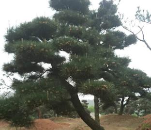 绿化造型黑松树 观赏造型黑松苗木 造型黑松 多规格 可批发