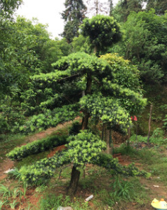 优价供应各规格苗木树造型罗汉松 基地直销 规格齐全 量大价优