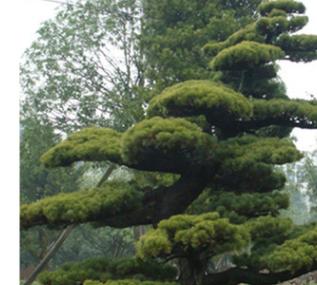 乔木罗汉松出售 优价现货供应公园绿化植物 价格实惠 欢迎选购