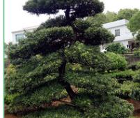 批发胸径5-80CM贵州罗汉松 绿化苗木 园林工程绿化树 造型罗汉松