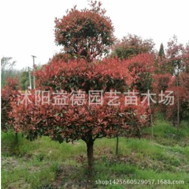 红叶石楠球,红叶石楠柱,红叶石楠桩绿化工程 风景树 行道树