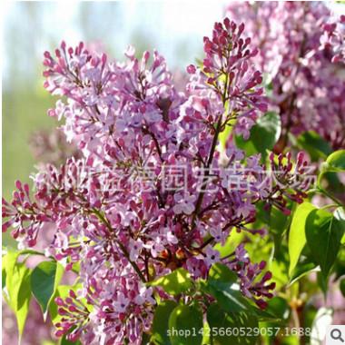 苗圃批发丁香树苗绿化工程 紫丁香苗行道树 规格齐全丛生丁香