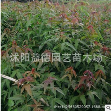 基地批发鸡爪槭 绿化工程 鸡爪槭销售行道树 青枫品种齐全