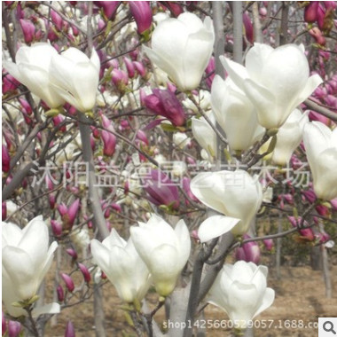 供应绿化苗木白玉兰2-8-10-18公分大白玉兰树 白玉兰小苗基地