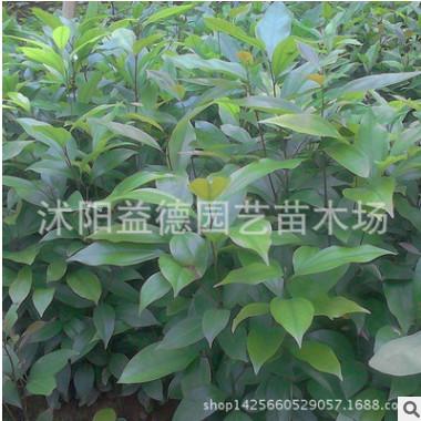 基地批发腊梅树苗价格 腊梅树苗销售 花灌木批发 种类齐全