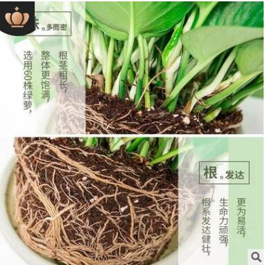 优质长藤绿萝盆栽室内花卉吊兰植物吸甲醛净化空气水培绿植大绿箩