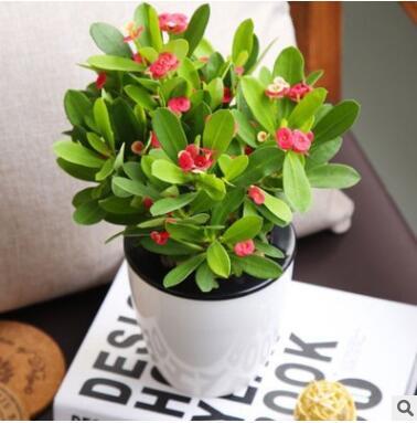 虎刺梅铁海棠花卉桌面盆栽办公室内绿植水培植物吸甲醛防辐射