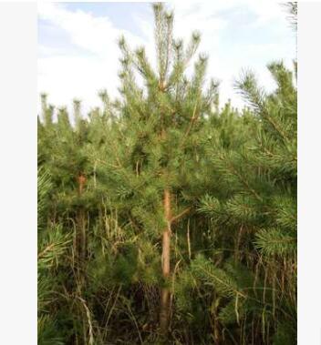 云杉树苗、油松树苗、樟子松树苗、各种云杉营养杯苗