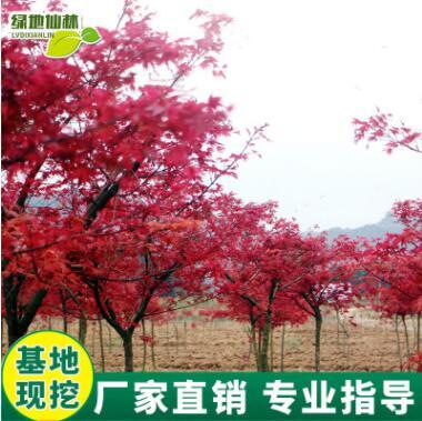 红枫树苗四季红庭院室外阳台观花植物花卉基地直销观赏苗木红枫苗