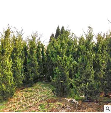 园艺园林植物龙柏灌木 常绿性龙柏灌木产地直销露地柏树苗