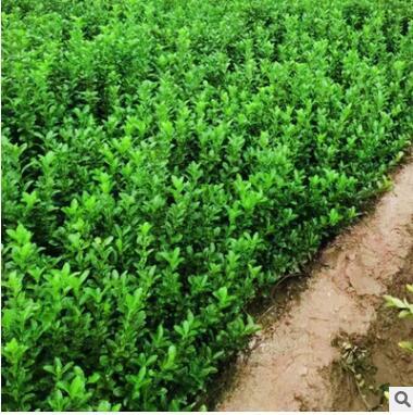 四季常青耐寒绿篱笆苗围墙植物冬青庭院花园美化绿化苗木基地直销