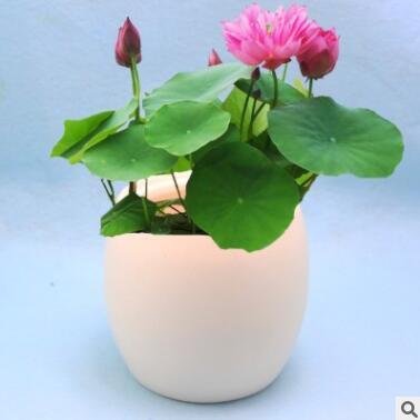 批发水生植物花卉种子开口碗莲种子荷花种子盆栽莲花种子四季种植