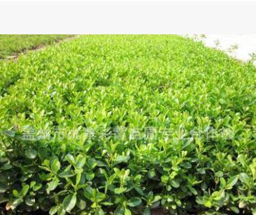 小叶黄杨 工程绿化 绿植盆景造型 黄杨球