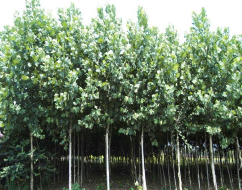 法国梧桐 法桐供应