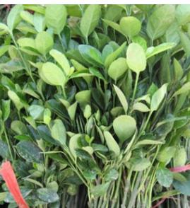 苗圃直销龟甲冬青球 公园绿化植物大叶黄杨球 耐寒耐旱绿篱树苗