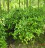 栀子花冠幅100-150厘米