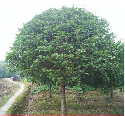 桂花树大树1到15公分庭院花卉盆栽金桂八月桂四季桂丹桂桂花树苗
