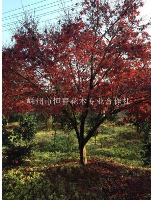 浙江绍兴中国红枫
