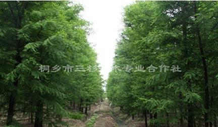浙江嘉兴供应2-15公分池杉