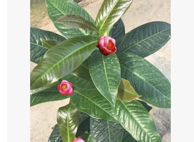 越南四季海棠大叶抱茎茶花批发 带花苞发货 鲍茎茶树苗四季常绿植