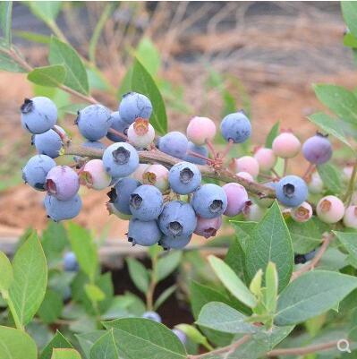 蓝莓苗盆栽四季蓝莓树果苗南北方阳台庭院地栽脱毒果树苗当年结果