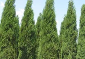 厂家批发绿化灌木蜀侩 篱笆围墙桧柏 蜀侩树规格全