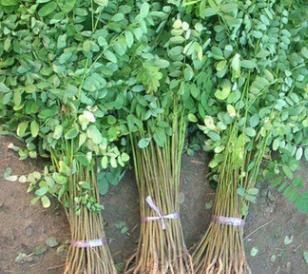 紫穗槐 基地直供 各种绿化苗木 紫穗槐苗
