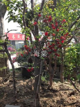 出售海棠树
