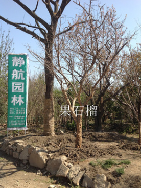 出售胸径30公分大黄杏树,品种好,包种包活
