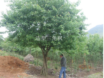 出售造型三角枫 枫树