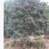 出售各种规格的乔木万年红大树绿化苗木绿化苗木