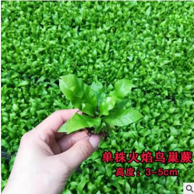 苔藓微景观单株蕨类网纹草观叶植物生态瓶DIY造景雨林水陆缸材料