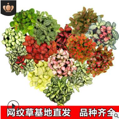 花知态基地直发80盆网纹草广州生产四季植物小盆栽植物微景观绿植